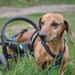 czeskie wózki dla psów